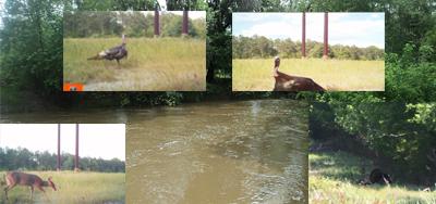 Turkeys, Deer, Creek